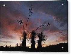Spanish Bayonet Yucca Plants Acrylic Print by Annie Griffiths