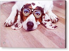 Spanish Hound Dog Lying With Joke Glasses Acrylic Print by Retales Botijero