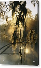 Spanish Moss Hanging From A Tree Branch Acrylic Print by Medford Taylor