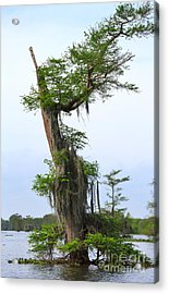 Spanish Moss On Bald Cypress Tree In The Atchafalaya Swamp Acrylic Print by Louise Heusinkveld