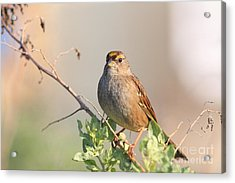 Sparrow Bird Perched . 40d12304 Acrylic Print by Wingsdomain Art and Photography