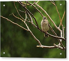 Sparrow In The Rain Acrylic Print