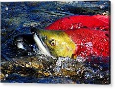 Spawning Sockeye Salmon Acrylic Print by Don Mann