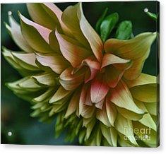 Special Dahlia Acrylic Print