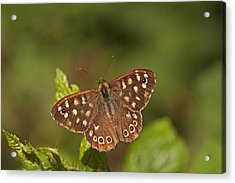 Speckled Wood Acrylic Print by Paul Scoullar