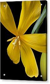 Spent Tulip Acrylic Print by Garry Gay