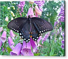 Spicebush Swallowtail Butterfly On Foxgloves - Papilio Troilus Acrylic Print by Mother Nature