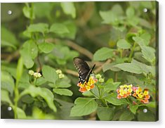 Spicebush Swallowtail Butterfly On Lantana Shrub Verbena Acrylic Print by Marianne Campolongo