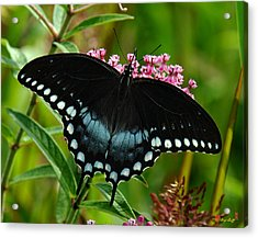 Spicebush Swallowtail Din038 Acrylic Print