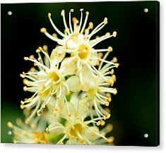 Acrylic Print featuring the photograph Spider Flower by Tanya Tanski