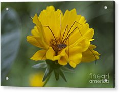 Spider Hammock Acrylic Print