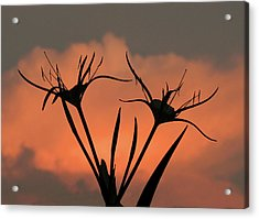 Spider Lilies At Sunset Acrylic Print