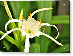 Acrylic Print featuring the photograph Spider Lily  by Puzzles Shum