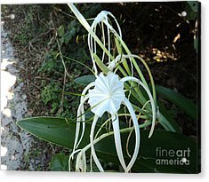 Acrylic Print featuring the photograph Spider Lily3 by Megan Dirsa-DuBois