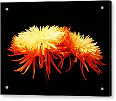 Spider Mums Acrylic Print by Yvonne Scott