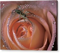 Spider On Rose Acrylic Print