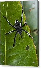 Spider Weevil Papua New Guinea Acrylic Print by Piotr Naskrecki