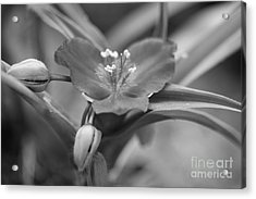 Spiderwort In Black Acrylic Print by Brooke Roby