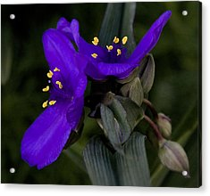 Spiderwort Lovers Acrylic Print by Michael Friedman