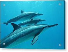 Spinner Dolphins Acrylic Print by João Vianna