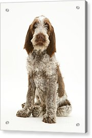 Spinone Puppy Acrylic Print