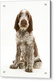 Spinone Puppy Acrylic Print