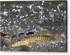 Splashes Of Carp Acrylic Print by Amy Gallagher