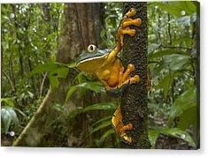Splendid Leaf Frog  Costa Rica Acrylic Print by Piotr Naskrecki