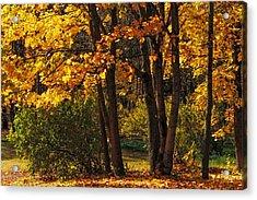 Splendor Of Autumn. Maples In Golden Dresses Acrylic Print by Jenny Rainbow