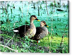 Acrylic Print featuring the photograph Spot Bill Ducks by Pravine Chester