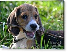 Spot The Pocket Beagle Acrylic Print