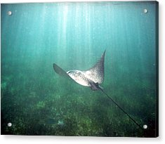 Spotted Eagle Ray Acrylic Print