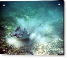 Spotted Eagle Ray Feeding Acrylic Print