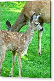 Acrylic Print featuring the photograph Spotted Fawn And Doe by Cindy Wright