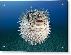 Spotted Porcupinefish IIi Acrylic Print by Dave Fleetham