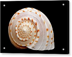 Spotted Sea Snail Shell Acrylic Print by Michael Smith Photography/Studio One Pensacola