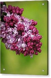 Spray Of Lilac II Acrylic Print by Laine Zunte