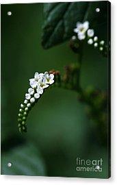 Spray Of White Flowers Acrylic Print by Sabrina L Ryan
