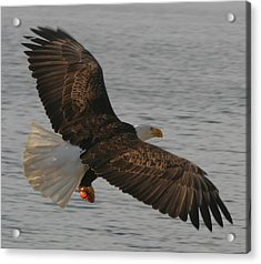 Acrylic Print featuring the photograph Spread Eagle by Kym Backland