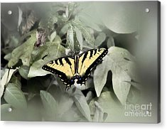 Spread Your Wings Acrylic Print by Cris Hayes