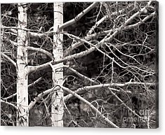 Spring Aspens Acrylic Print by Clare VanderVeen