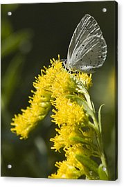 Spring Azure And Goldenrod Acrylic Print