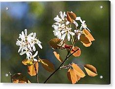 Spring Blossoming Shrubs Acrylic Print