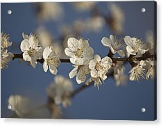 Spring Blossoms Acrylic Print by Ayhan Altun
