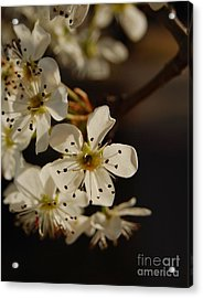 Spring Blossoms I Acrylic Print