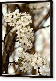 Spring Blossoms Acrylic Print by Megan Wilson