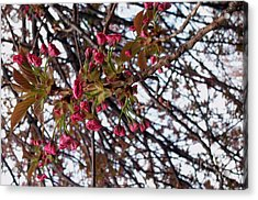 Spring Cherry Blossoms Acrylic Print by Rayofra Ra