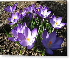 Acrylic Print featuring the photograph Spring Crocus by AmaS Art