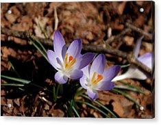 Acrylic Print featuring the photograph Spring Crocus by Paul Mashburn