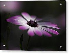 Spring Daisy Acrylic Print by Saija  Lehtonen